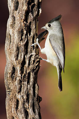Titmouse Photograph - Black-crested Titmouse (baeolophus by Larry Ditto