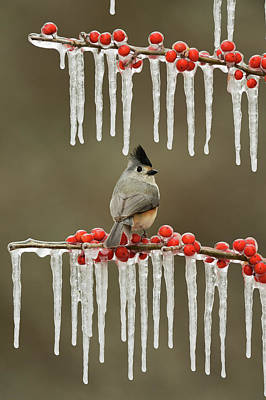 Black-crested Titmouse Perched On Icy Art Print