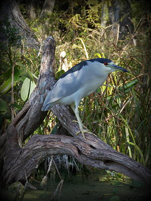 Photograph - Black-crowned Night-heron 2 by Sheri McLeroy