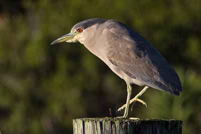 Photograph - Black-crowned Night Heron At Bodega Bay by Kathleen Bishop