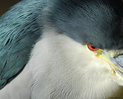 Photograph - Black-crowned Night Heron Close-up by Avian Resources