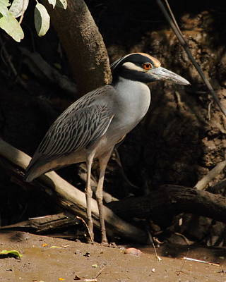 Photograph - Black Crowned Night Heron by Coby Cooper
