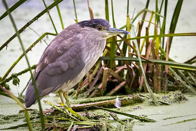 Photograph - Black-crowned Night-heron Immature 2nds Year by Ricky L Jones