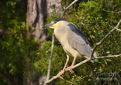 Photograph - Black Crowned Night Heron In Breeding Plumage by Kathy Baccari