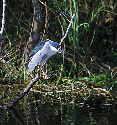 Photograph - Black Crowned Night Heron by Jean Clark