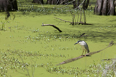 Photograph - Black-crowned Night Heron by Jim West