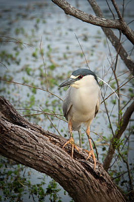 Photograph - Black Crowned Night Heron by Joye Ardyn Durham