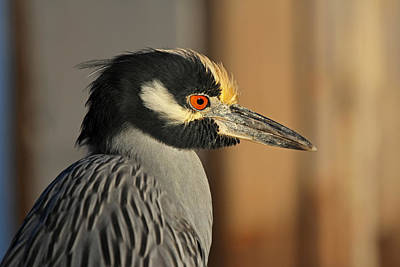 Photograph - Black Crowned Night Heron by Juergen Roth
