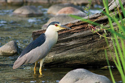 Photograph - Black-crowned Night-heron by Larry Bohlin