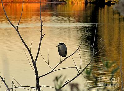 Marilyn Photograph - Black-crowned Night Heron by Marilyn Smith