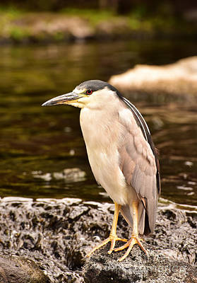 Photograph - Black Crowned Night Heron by MaryJane Armstrong