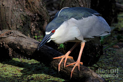 Photograph - Black-crowned Night Heron by Meg Rousher