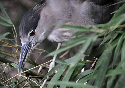 Photograph - Black-crowned Night Heron by Mike Martin
