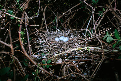 Heron Photograph - Black-crowned Night Heron Nest by Paul J. Fusco