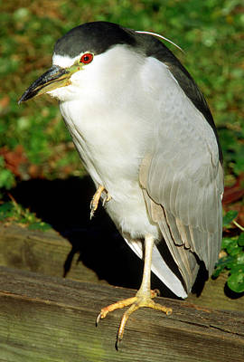 Photograph - Black-crowned Night-heron On One Leg by Millard H. Sharp