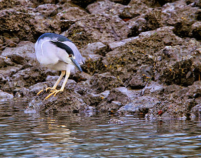 Photograph - Black Crowned Night Heron by Robert Woodward
