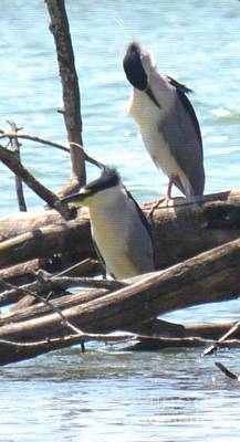 Photograph - Black-crowned Night Herons by Maria Urso