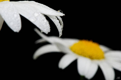 Photograph - Black Daisy Reflection by Lisa Knechtel