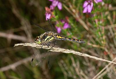Darter Photograph - Black Darter Dragonfly by Bob Gibbons