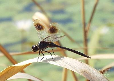 Photograph - Black Dragonfly by Audrey Van Tassell