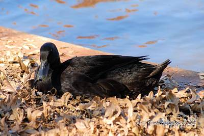 Photograph - Black Duck At Lucy Park by Cheryl Poland