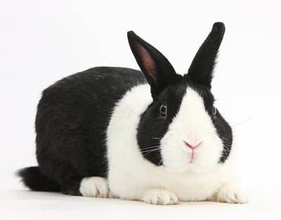 Photograph - Black Dutch Male Rabbit by Mark Taylor