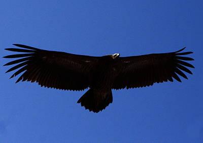 Photograph - Black Eagle - Himalayas - Nepal by Aidan Moran