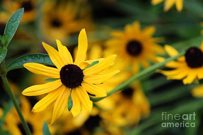 Photograph - Black Eye Susan In The Spotlight by Jackie Farnsworth