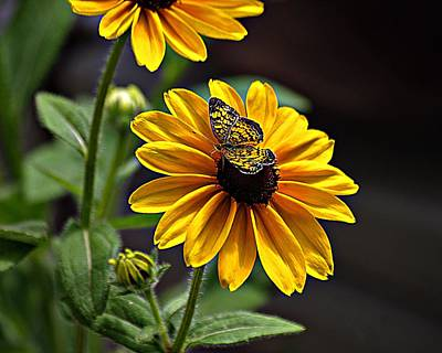 Black-eye Susan With Butterfly Art Print