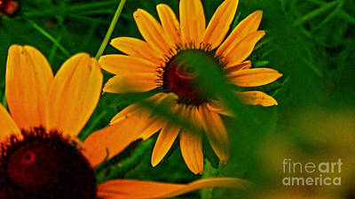 Photograph - Black Eye Susans by Brittany Perez