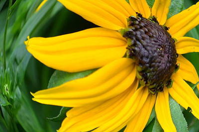 - Black-eyed Susan 2 by Robert Gross
