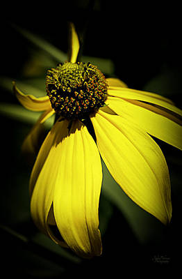 Photograph - Black Eyed Susan 3 by Julie Palencia