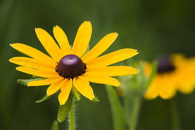 Abstract Flowers Photograph - Black Eyed Susan by Adam Romanowicz