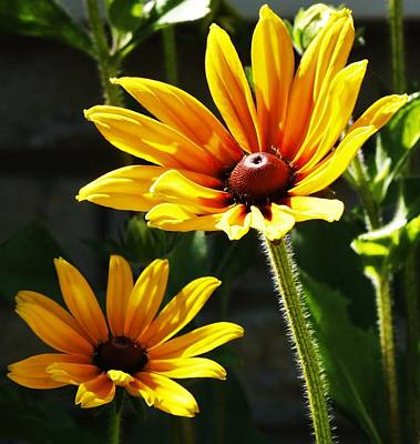 Photograph - Black Eyed Susan by Al Fritz