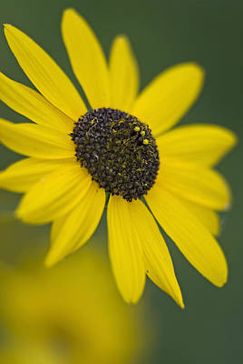 Photograph - Black-eyed Susan by Andy Crawford