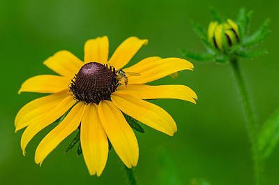 Photograph - Black Eyed Susan by Anthony Heflin