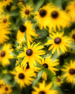 Photograph - Black Eyed Susan Blooms by John Pagliuca