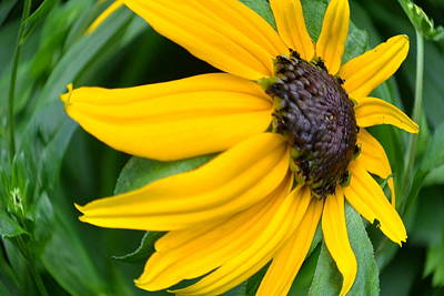 - Black-eyed Susan by Bob Gross