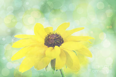Photograph - Black-eyed Susan Bokeh by Jim And Emily Bush