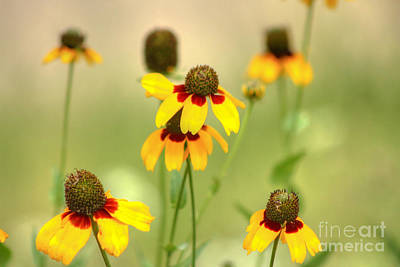 Photograph - Black-eyed Susan by David Cutts