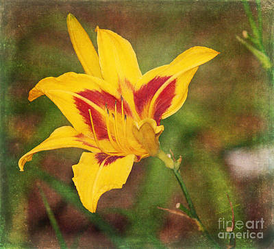 Photograph - Black-eyed Susan Daylily II by Patricia Griffin Brett