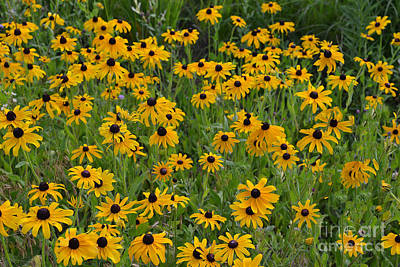 Indiana Photograph - Black-eyed Susan Field by Amy Lucid