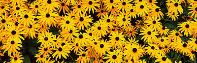 Black-eyed Susan Flowers Rudbeckia Art Print by Panoramic Images