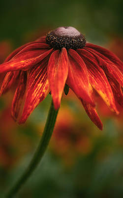 Art Print featuring the photograph Black-eyed Susan by Jacqui Boonstra
