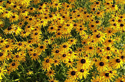 Photograph - Black-eyed Susan by James Hammen