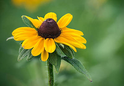 Photograph - Black-eyed Susan by Jim Zablotny