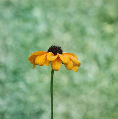 Black Eyed Susan Art Print by Kim Hojnacki