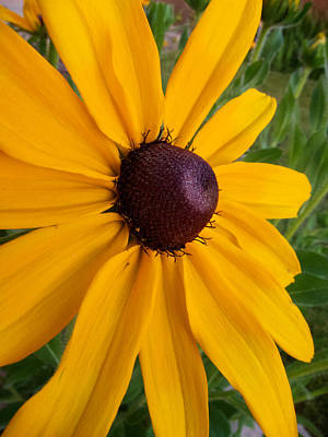 Photograph - Black Eyed Susan by Mary Lee Dereske