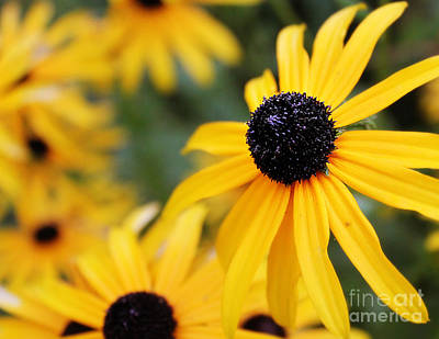 Photograph - Black Eyed Susan by Melissa Petrey