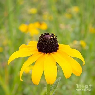 Wildflower Photograph - Black Eyed Susan by Nikki Vig